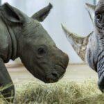 El parque temático Animal Kingdom de Disney anuncia la alegre llegada de un bebé rinoceronte blanco